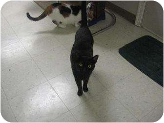 Domestic Shorthair Cat for adoption in Margate, Florida - Nikie