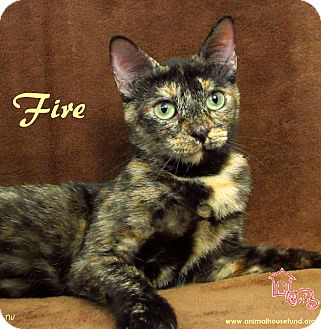 Domestic Shorthair Cat for Sale in St Louis, Missouri - Fire