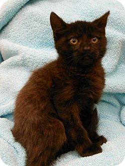 Domestic Shorthair Kitten for Sale in Sterling, Virginia - Ashley
