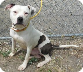 American Pit Bull Terrier Mix Dog for Sale in Gary, Indiana - Melton