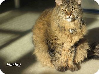 Domestic Mediumhair Cat for Sale in Hamilton, Montana - harley