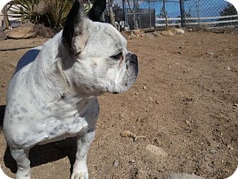 French Bulldog Dog for Sale in Lucerne Valley, California - Birdie