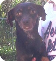 Dachshund Mix Dog for Sale in Orlando, Florida - Ethan