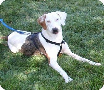 Treeing Walker Coonhound/Catahoula Leopard Dog Mix Dog for Sale in Schererville, Indiana - Charlie