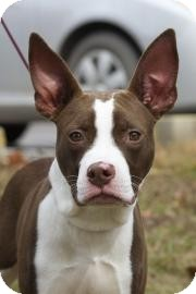 American Pit Bull Terrier Mix Dog for Sale in Gainesville, Florida - Rex