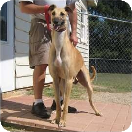 Greyhound Dog for adption in Oak Ridge, North Carolina - Mo