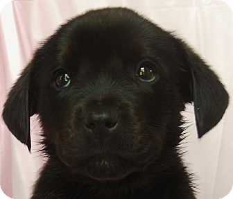 Labrador Retriever Mix Puppy for Sale in Thousand Oaks, California - Lovey