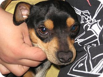 Manchester Terrier Mix Dog for adption in Glendale, Arizona - Simon