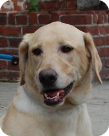 Labrador Retriever Dog for Sale in Brooklyn, New York - Diva