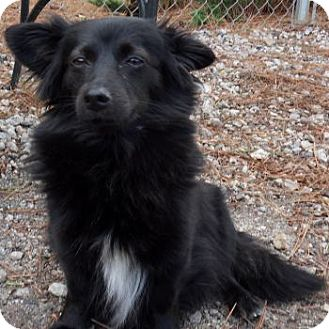 Schipperke/Papillon Mix Dog for Sale in Athens, Georgia - Lexy