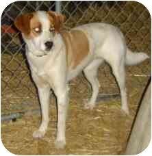 Australian Cattle Dog/Husky Mix Dog for adption in Chrisman, Illinois - Tammy