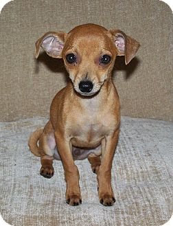 Chihuahua/Dachshund Mix Dog for Sale in Clear Lake, Washington - Chester