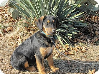 Shepherd (Unknown Type)/Hound (Unknown Type) Mix Puppy for Sale in Oakland, Arkansas - Hope