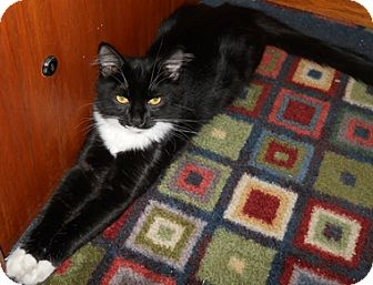 Domestic Mediumhair Cat for Sale in North Highlands, California - Chili