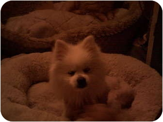 Pomeranian Dog for adption in Studio City, California - Snow Flake