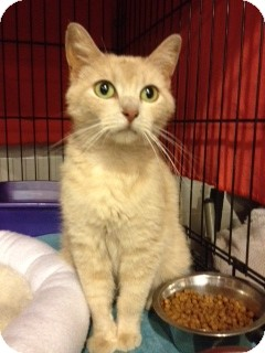 Domestic Shorthair Cat for adoption in Grand Rapids, Michigan - Trista