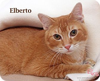 Domestic Shorthair Cat for adoption in St Louis, Missouri - Elberto