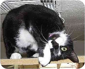 Domestic Shorthair Cat for adoption in Clovis, New Mexico - Domino