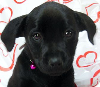 Labrador Retriever Mix Puppy for Sale in Thousand Oaks, California - Swetheart