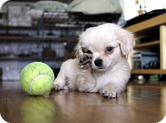 Pekingese/Chihuahua Mix Puppy for Sale in Los Angeles, California - JAY-Z