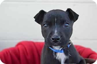 German Shepherd Dog/Labrador Retriever Mix Puppy for Sale in Glastonbury, Connecticut - Freddy~meet me!~