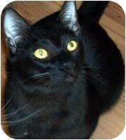 Bombay Cat for adoption in Mesa, Arizona - Spike
