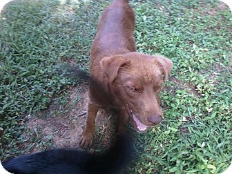 Flat-Coated Retriever Mix Dog for adption in Columbia, Tennessee - Jojo