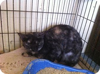 Domestic Shorthair Cat for adoption in Arlington, Texas - Turtle
