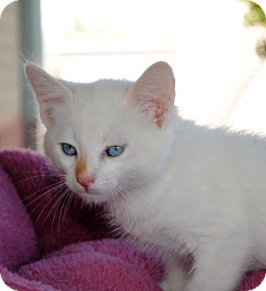 Siamese Kitten for Sale in Palmdale, California - Starbuck