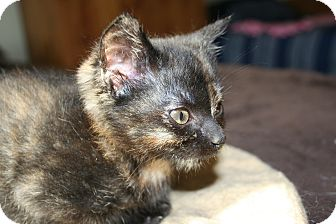 Domestic Shorthair Kitten for adoption in Kalispell, Montana - Minute