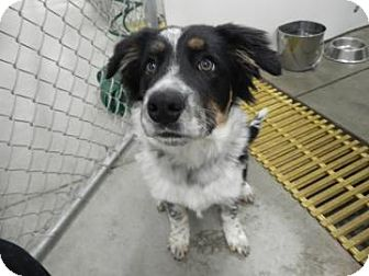 Australian Shepherd/Border Collie Mix Dog for Sale in Buffalo, Wyoming - Trooper