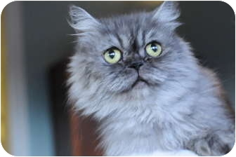 Persian Cat for Sale in Columbus, Ohio - Miss Sterling