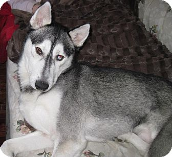 Husky Dog for Sale in Carey, Ohio - LUKA