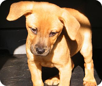 Shepherd (Unknown Type)/Labrador Retriever Mix Puppy for Sale in cumberland, Rhode Island - Teddy