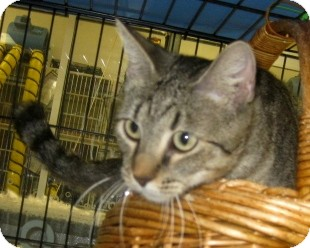 Abyssinian Cat for adoption in Dallas area, Texas - Sydney
