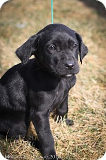 Labrador Retriever/Retriever (Unknown Type) Mix Puppy for Sale in Broomfield, Colorado - Clover