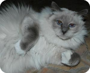 Birman Cat for Sale in Ennis, Texas - Alexander