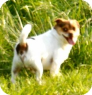 Jack Russell Terrier/Chihuahua Mix Dog for adption in Albany, Oregon - Rascal