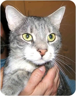 American Shorthair Cat for adoption in New York, New York - Helios the Love God
