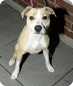 American Pit Bull Terrier Mix Dog for adption in New York, New York - Te'Sa
