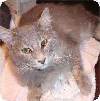 Domestic Shorthair Cat for adoption in Waldorf, Maryland - Ike