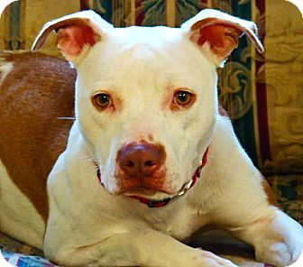 American Pit Bull Terrier Dog for Sale in Groton, Massachusetts - Sadie