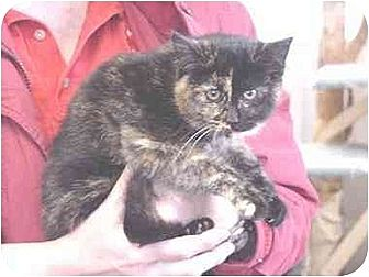 Domestic Shorthair Cat for adoption in Union Lake, Michigan - Jennifer&gt;^.,.^&lt; $35 adoption