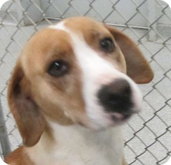 Foxhound/Beagle Mix Dog for Sale in Lincolnton, North Carolina - Roxy