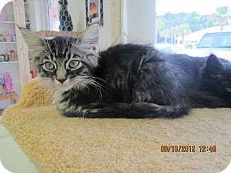 Domestic Longhair Kitten for Sale in Bunnell, Florida - Rufus