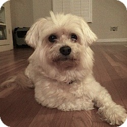 Maltese Mix Dog for Sale in San Diego, California - Glinda