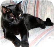 Bombay Cat for Sale in Mesa, Arizona - Suki