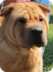 Shar Pei Dog for Sale in Barnegat Light, New Jersey - Suzee