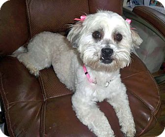 Lhasa Apso/Bichon Frise Mix Dog for Sale in Los Angeles, California - PEARL