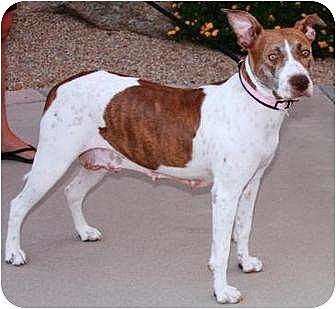 Gilbert, AZ - German Shorthaired Pointer/American Pit Bull Terrier Mix